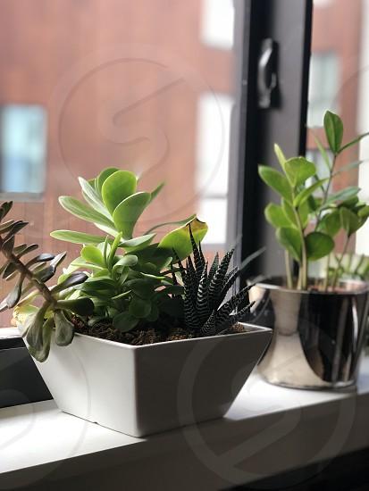 Minimalist March potted plant plants kitchen green windowsill photo