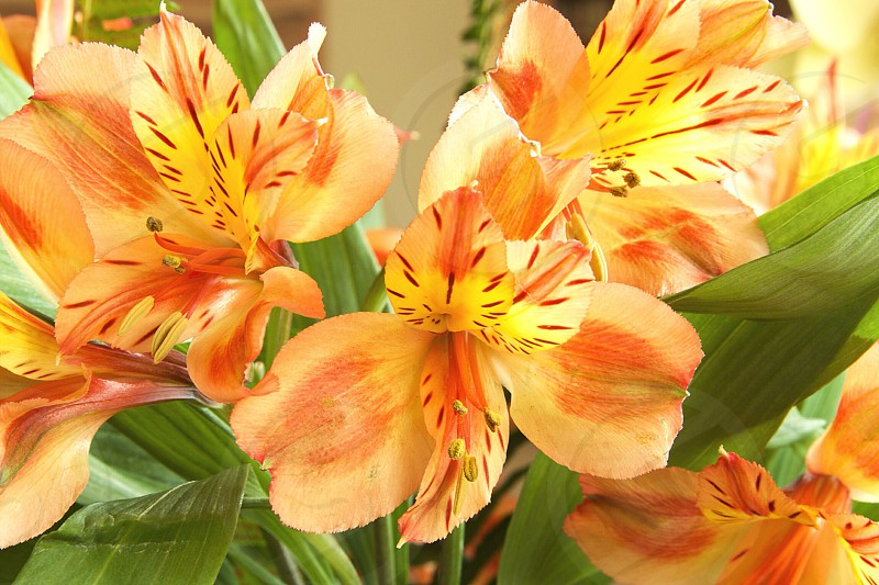 Peruvian Lilies photo