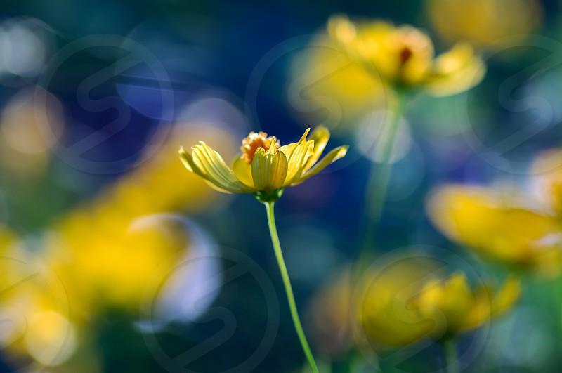 Yellow flower and illuminate photo
