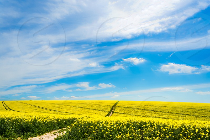 spring field rapeseed yellow sky sussex plants farming crops clouds photo