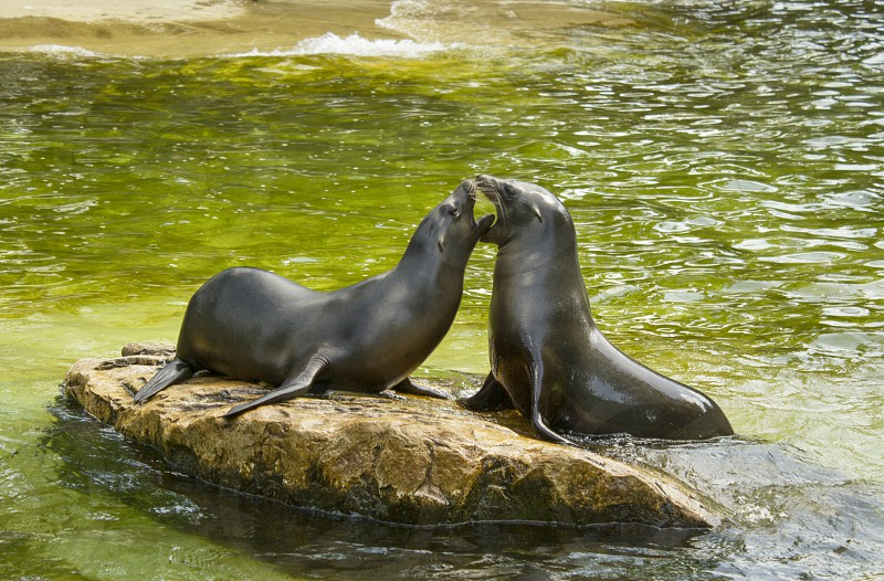 Two seals playing together. photo