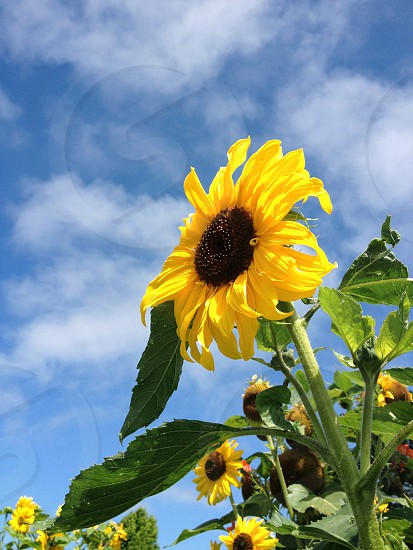 low angle photography of sunflower under cumulus clouds photo