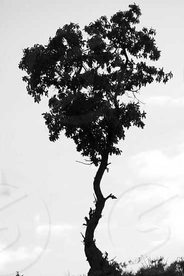 grayscale lonely tree photgraphy photo