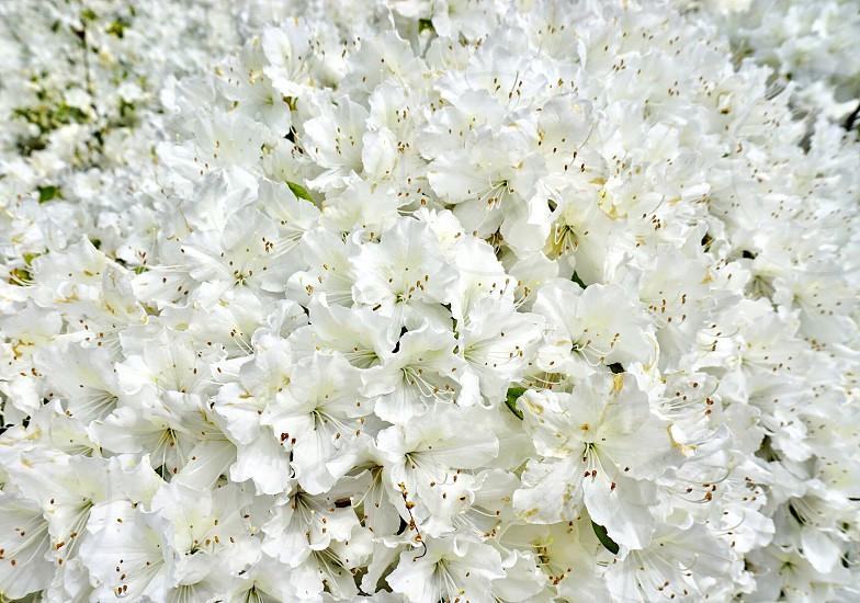 Spring flower bloom perennial azalea white bush photo