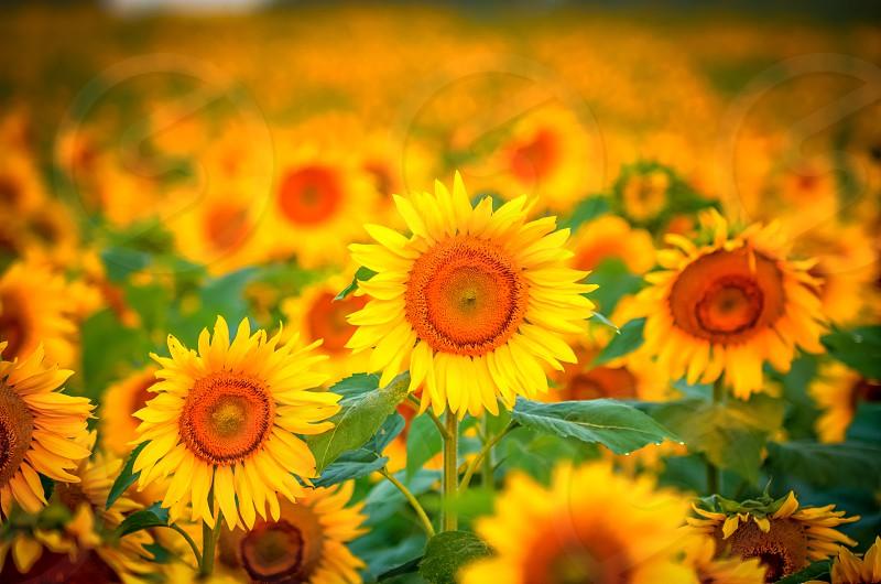 sunflower filed photo