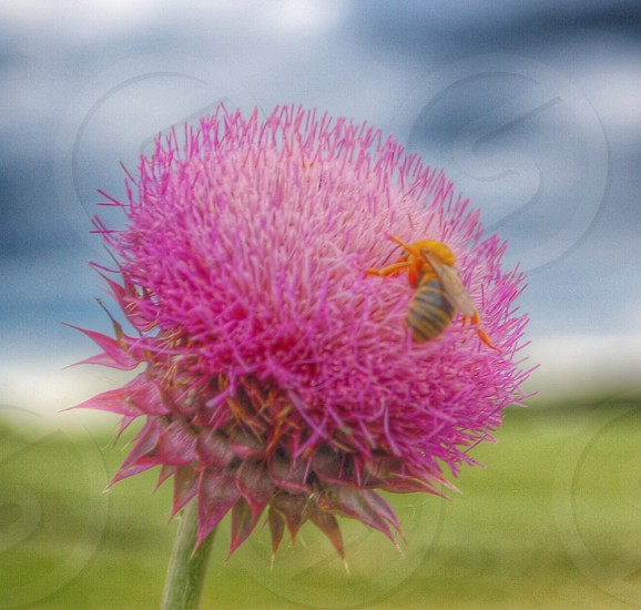 Bee on thistle photo