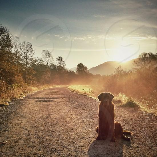black bull mastiff dog photo