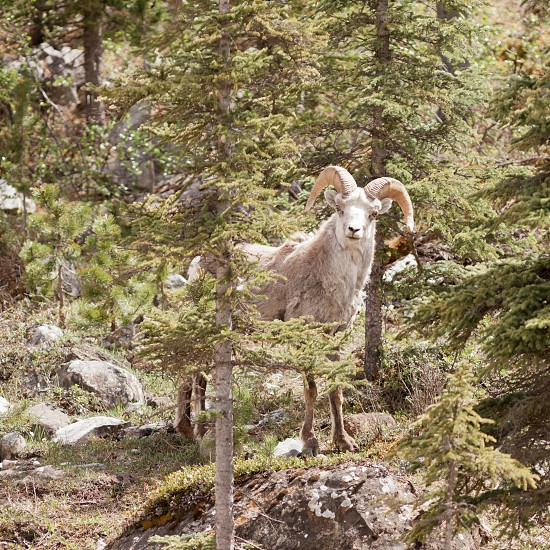 Male Stone Sheep Ovis dalli stonei or thinhorn sheep ram standing in mountain forest curiously watching wildlife of northern Canadian Rocky Mountains British Columbia Canada photo