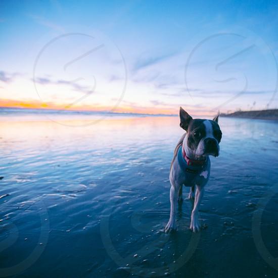 brown and white french bulldog photo