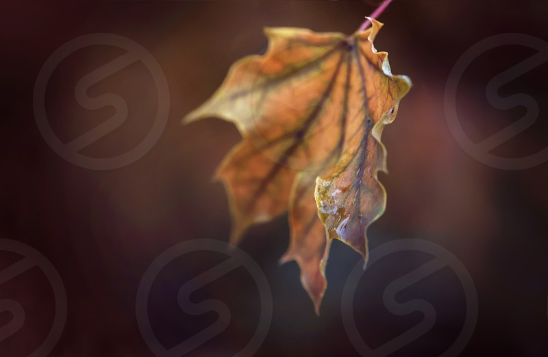 A close up of a single maple leaf in the fall. photo