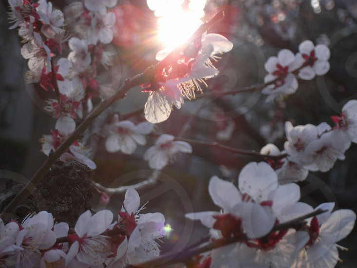 white and pink cherry blossoms photo