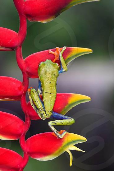 Agalychnis callidryas photo