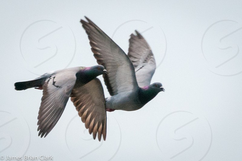 Two pigeons flying photo