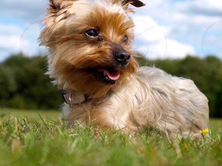 A photo of my toy Yorkshire terrier in a field. photo