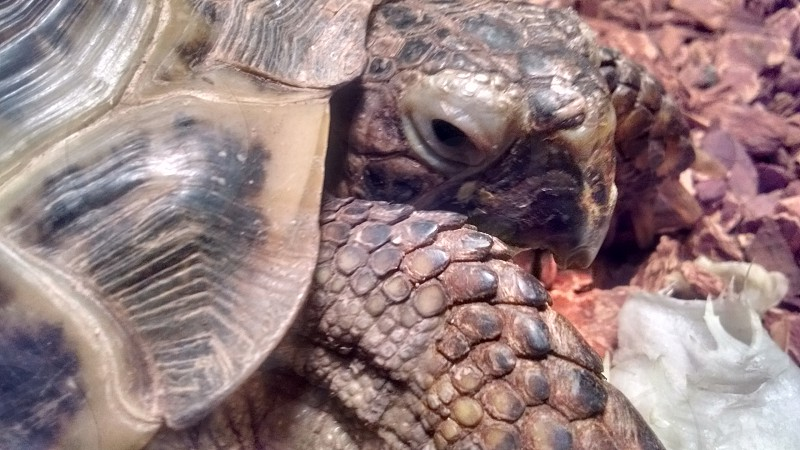 shelly the russian tortoise photo