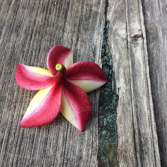 Frangipani flower Bali plumeria  photo