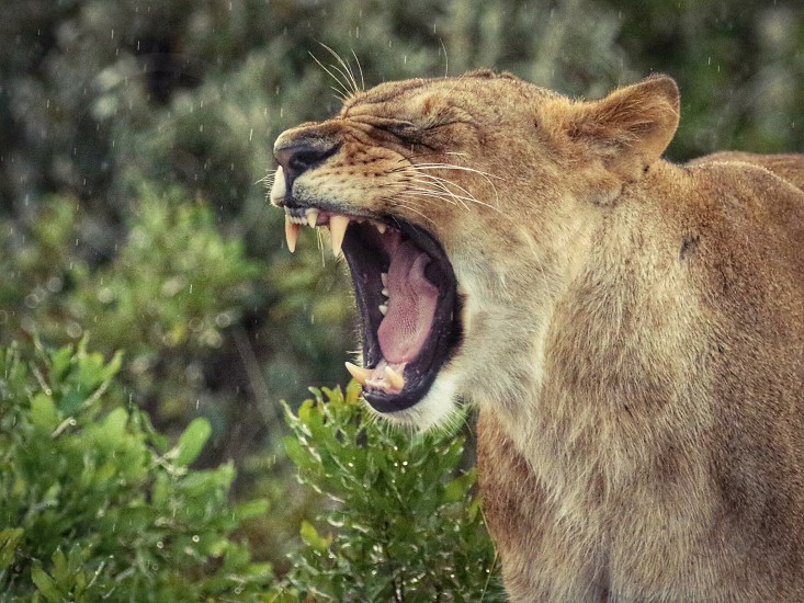 close up photo of a lioness near a green leaf plant photo