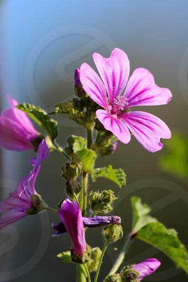 herbs mauve photo