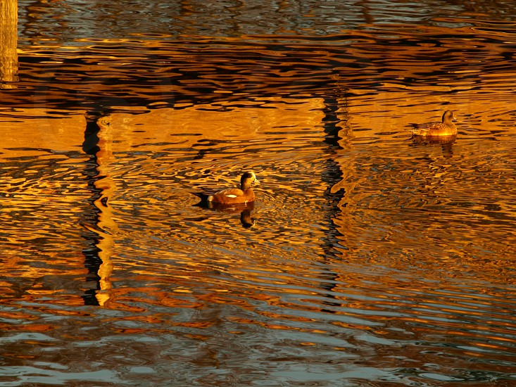 two ducks swimming on brown green blue rippling water photo