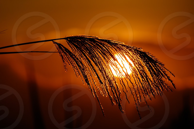 selective focus silhouette photography of wheat grass covering the sun photo