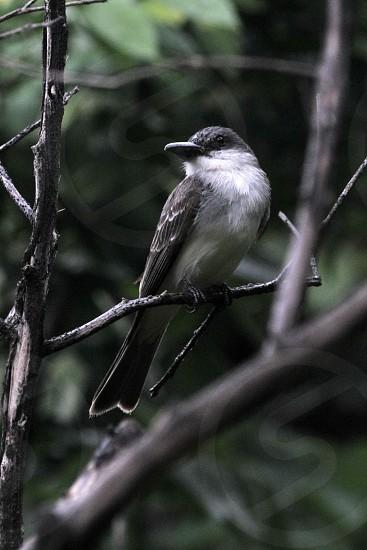 Grey King bird photo