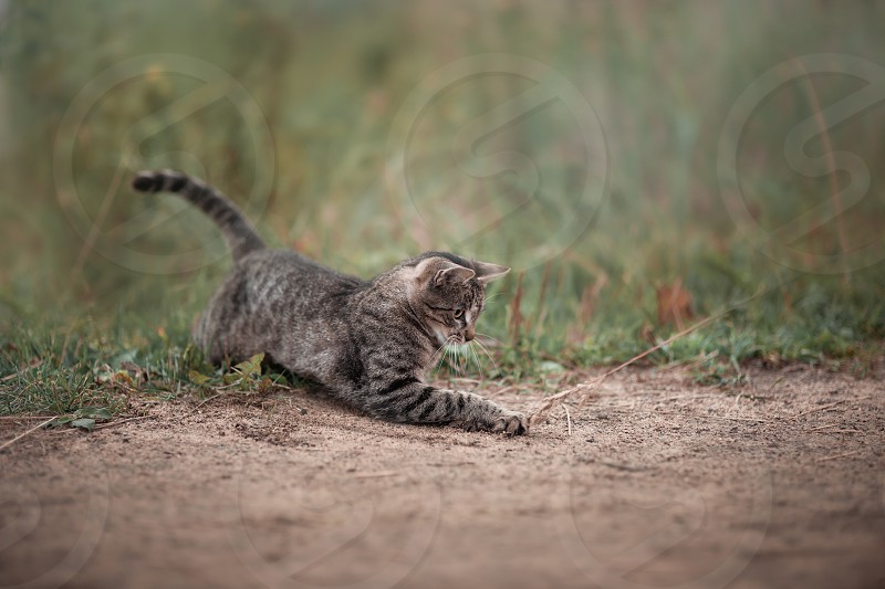 cat portrait brown tabby domestic pet animals look eye kitten seriously  play playing outdoor summer grass road sand nature photo