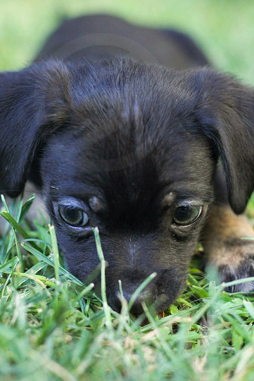 black puppy laying in grass photo