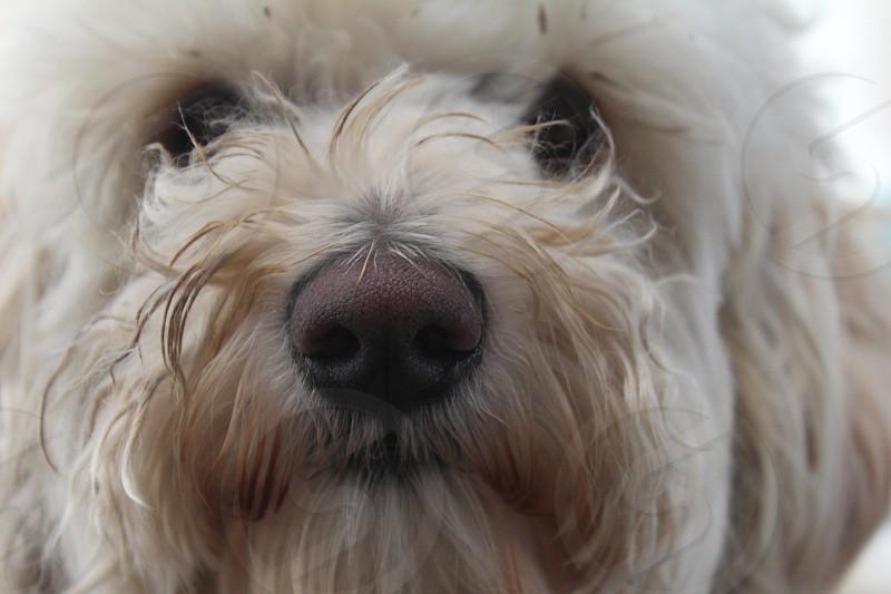 Labradoodle Dog Selfie  photo