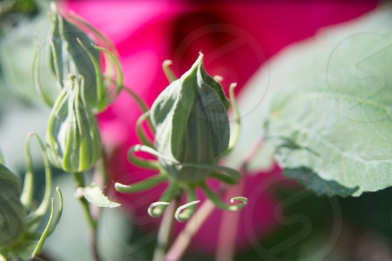 flower bud green pink fuchsia photo
