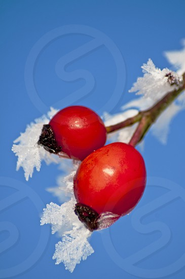 rose hips with ice crystals photo