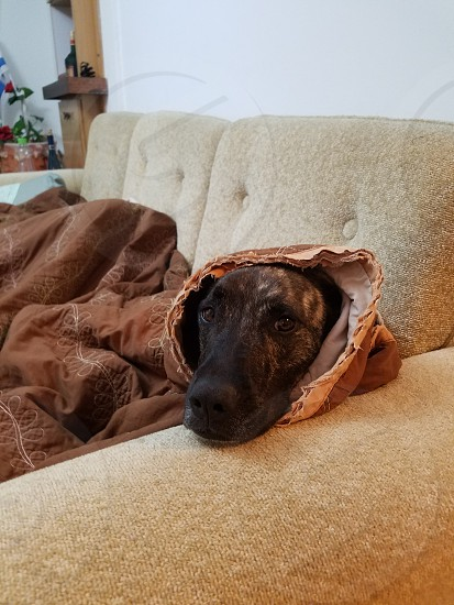Dog in a Blanket photo