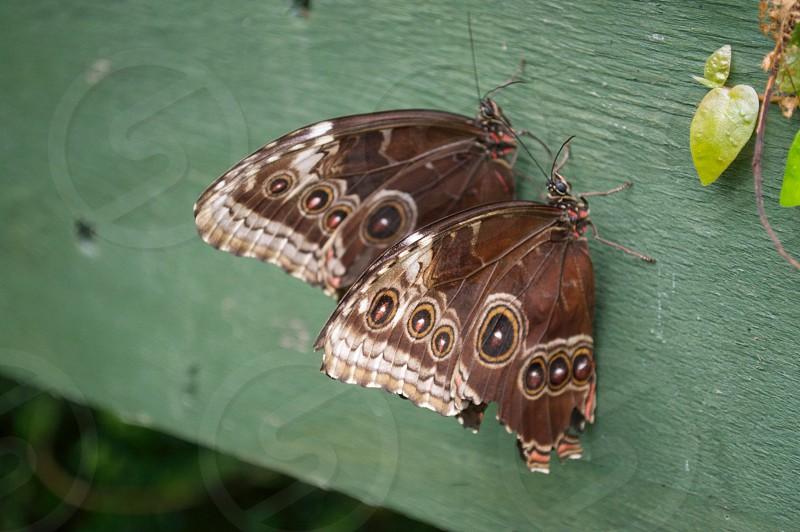 2 blue morpho butterflies photo