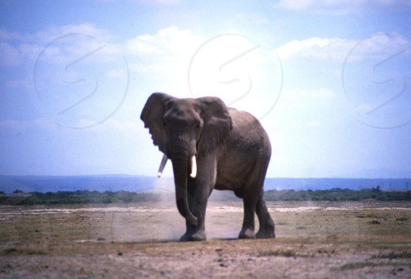 """The protective elephant father - stomping his """"feet"""" and flapping his ears - as a warning. Amboseli National Park Kenya photo"""