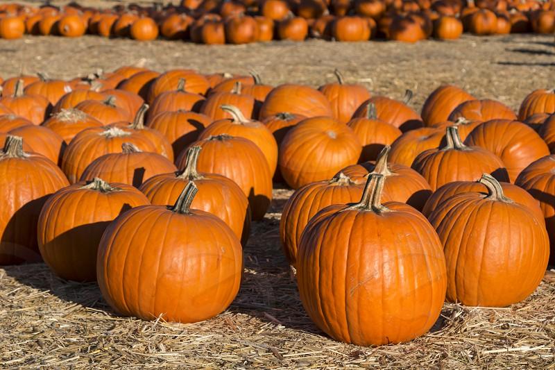 Pumpkins in a pumpkin patch photo