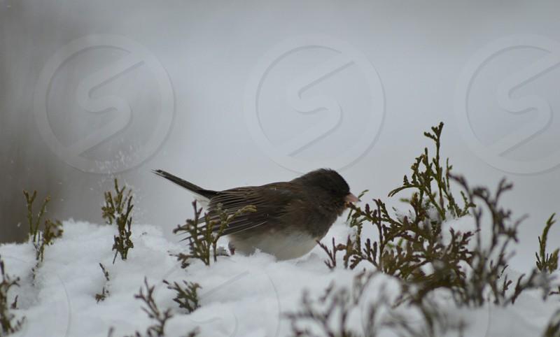 sparrow bird in snowy tree photo