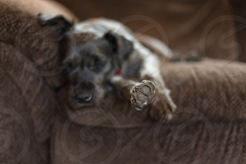 Talk to the paw.  A mini schnauzer dog sleeping on the couch photo