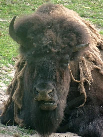 buffalobison photo