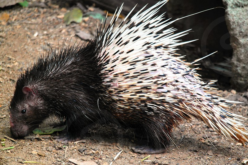 black and white porcupine during daytime photo