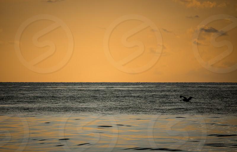 pelikan flying under sea at sunrise photo