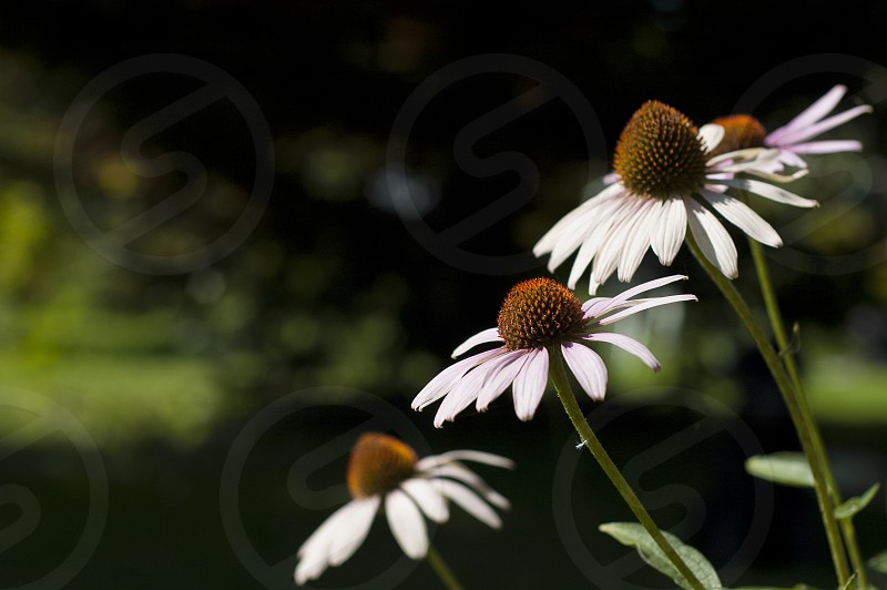 echinacea summer three 3 close up photo