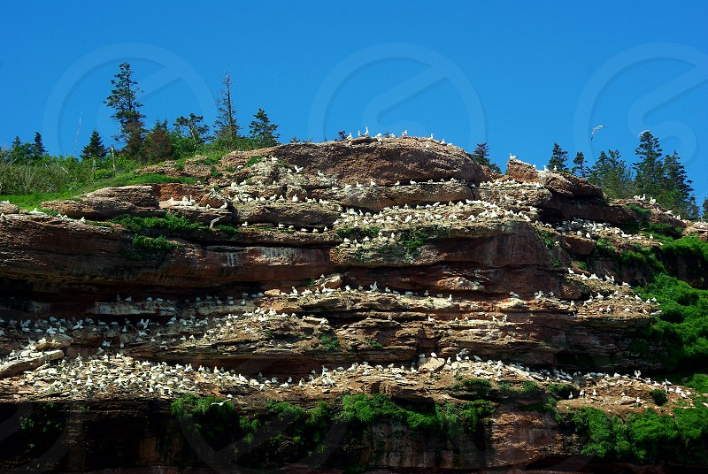 Beautiful landscape with a colony of gannets photo