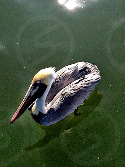 pelican at the pier photo