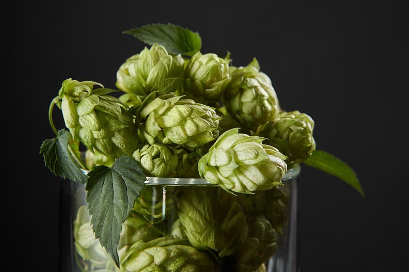 hops in a beer glass with green leaves. Fresh herbal ingredient for beer production. Selective focus photo