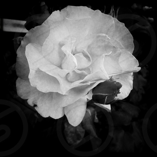 Black and white roses flowers buds full bloom photo