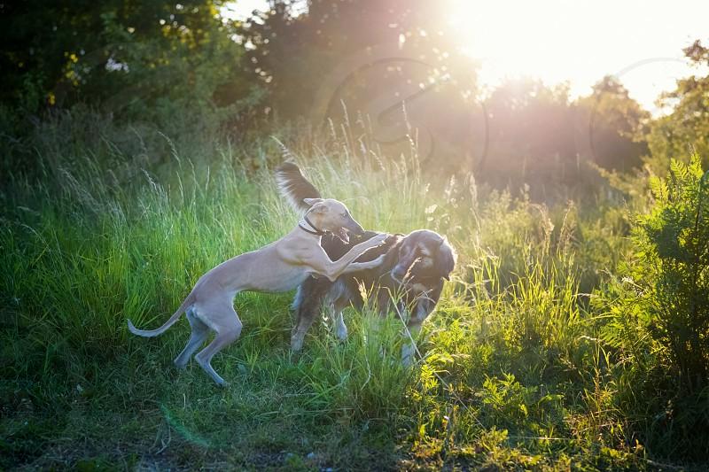 lens flare sun dogs playing fun walk photo