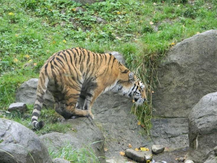 Siberian Tiger Endangered Species Tiger photo