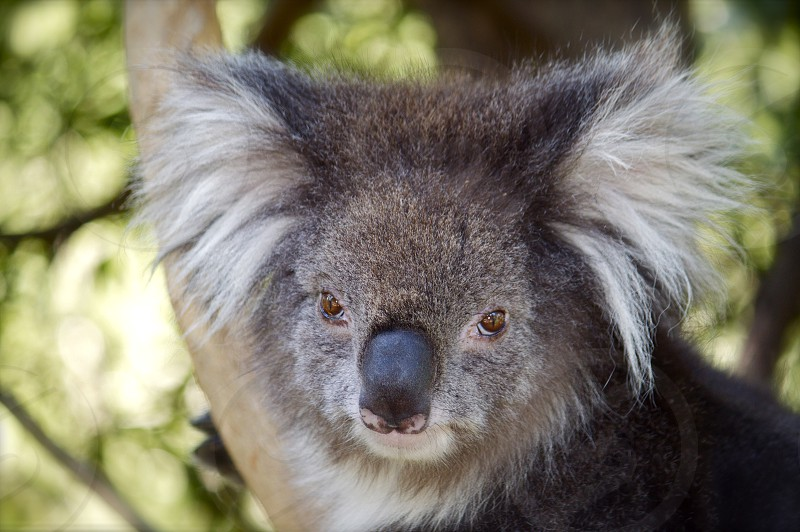 Koala with furry ears in close-up. photo