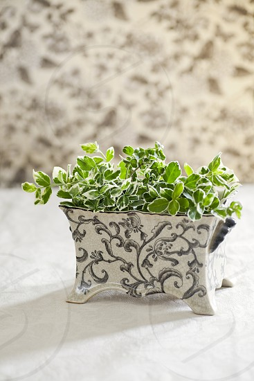 Fresh cut green plant with variegated leaves in decorative ceramic - floral patterns background and table top surface.   photo