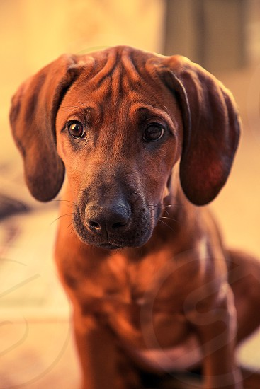 12 weeks old Rhodesian Ridgeback puppy (NOT dachshund!):) photo