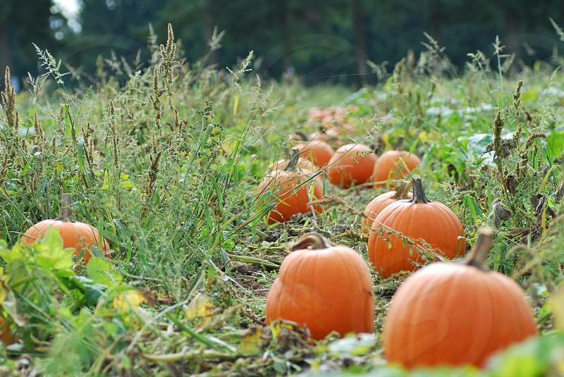 Farm Pumpkin Pumpkin Patch Field Nature  photo